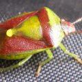 stink_bug_banasa_naomi
