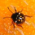 stink_bug_nymph_new_zealand