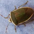 stink_bug_portugal_pedro