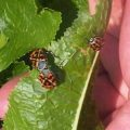 stink_bugs_mating_will