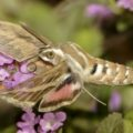 striped_hawkmoth_israel_geora_2