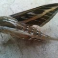 striped_hawkmoth_syria_wael