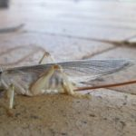 striped_raspy_cricket_australia_toni