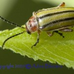 striped_willow_leaf_beetle_adam