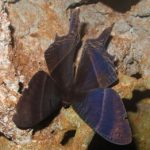 swallowtail_moth_solomon_islands_tammy
