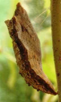 Swallowtail Butterfly Chrysalis What S That Bug