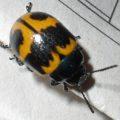 swamp_milkweed_beetle_