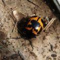 swamp_milkweed_beetle_brian