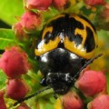 swamp_milkweed_beetle_tim
