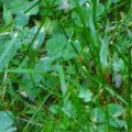 swarming_cornfield_ants_donna_2