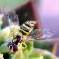syrphid_anna
