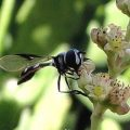 syrphid_anna_20110822
