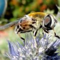 syrphid_ca_anna