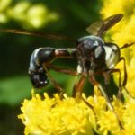 syrphid_fly_james