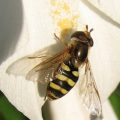 syrphid_joe_california