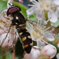 syrphid_mike