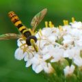 syrphid_switzerland_jpb