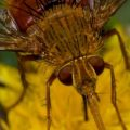 tachinid_adejeania_nick