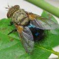 tachinid_fly_archytas apicifer_robin