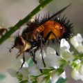 tachinid_fly_charles