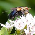 tachinid_fly_wisconsin