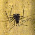 tailless_whipscorpion_mexico_danielle