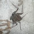 tailless_whipscorpion_mexico_gabriel