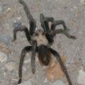 tarantula_chris_cu