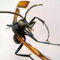 tarantula_hawk_hector