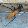 tarantula_hawk_michael
