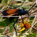 tarantula_hawk_renee_2