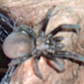 tarantula_jennifer