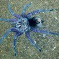 tarantula_pamphobeteus_ecuador_zach