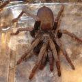 tarantula_rhonda