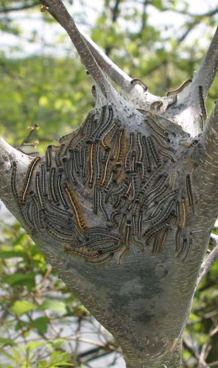 Eastern Tent Caterpillar What S That Bug