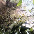 tent_caterpillars_saymith