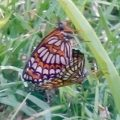 theona_checkerspots_mating_melvis