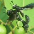 thickheaded_flies_mating_sara_1