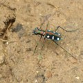 tiger_beetle_hong_kong