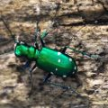 tiger_beetle_katy