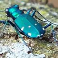 tiger_beetle_kevin