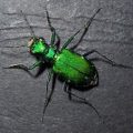 tiger_beetle_new_hampshire
