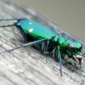 tiger_beetle_richard