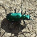 tiger_beetle_rob