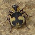 tiger_beetle_south_africa_don