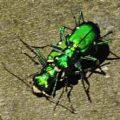 tiger_beetles_mating_paula