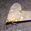 tiger_moth_india_abhishek