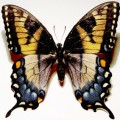 tiger_swallowtail_dark_morph