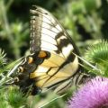 tiger_swallowtail_david