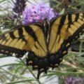 tiger_swallowtail_diz